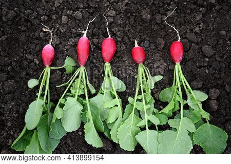 Bright Red Fresh Radishes With Green Leaves, Just Plucked From The Garden, Lie On The Ground Close-u