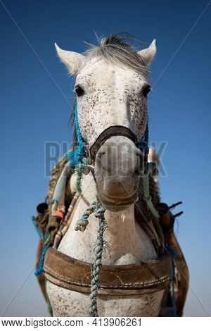 Portrait Of A Beautiful Tall White Horse With A Speck On The Background Of A Blue Sky. A Tired Workh