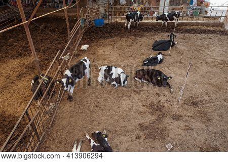 Traditional Calf And Cow Barn For White And Black Calves From High Angle And Farm Animals Resting An