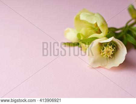 Delicate Pale Green Hellebore Flowers Lie On A Pink Background. Place For Your Text.
