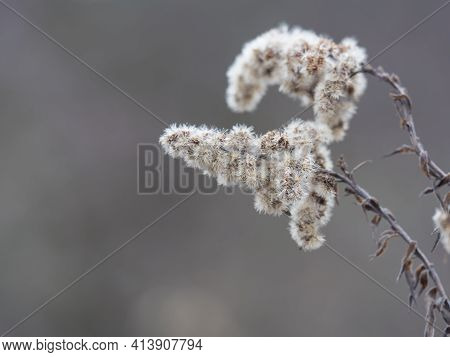 Close Up Of Dry Faded Flowers Of Goldenrod Or Solidago Canadensis With Fluffy Seeds On Beige Bokeh B