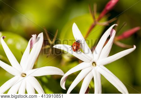 White Night Jasmine Flower With A Convergent Lady Beetle Also Called The Ladybug Hippodamia Converge