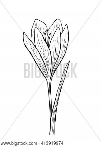 Doodle Crocus With Stem And Leaves. Vector Hand-drawn Illustration In Outline Style. Perfect For You
