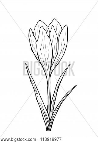Doodle Crocus With Stem And Leaves. A Sketch Of The First Spring Flower. Vector Hand-drawn Illustrat