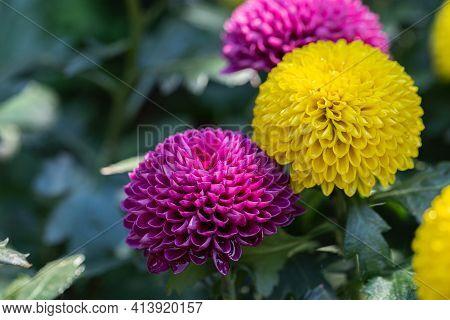 Pompom Chrysanthemums Flower. Flower In Garden. Flower At Spring Day. Yellow Flower. Flower Decorati