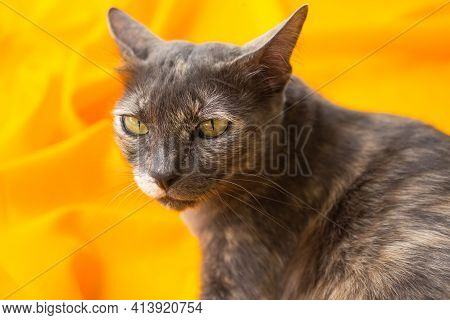 Calico Cat Or Tortoiseshell Cat On Yellow Background Blured. Authentic Domestic Animals. Pet Cute.