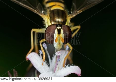 Macro Photography Of Hoverfly Sucking Nectar From Flower Isolated On Background
