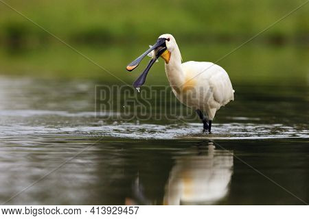 Eurasian Spoonbill Or Common Spoonbill (platalea Leucorodia) With A Fish In Its Beak.a Large White W