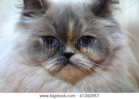 Persian longhair cat portrait looking straight in the eye. poster