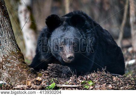 Asiatic Black Bear (ursus Thibetanus) In Spring Forest