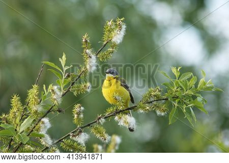 Beautiful Yellow Passerine Bird, Western Yellow Wagtail, Motacilla Flava Sitting On A Blooming Willo