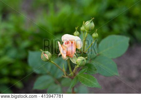 A Nostalgic Hybrid Of The Chippendale Tea Rose. A Beautiful Bud Of Yellow-pink Roses In The Summer G