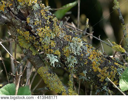 Different Lichen Species On Tree In Sussex, England.