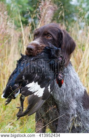 A German Wirehaired Pointer Sits (drathaar) In The Grass And Holds A Downed Black Grouse In Its Teet