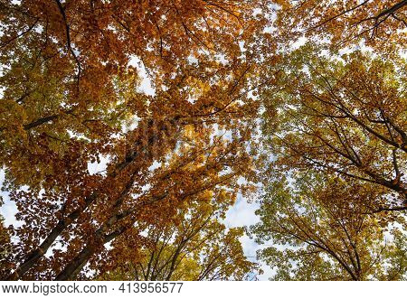 Low Angle View Of Colorful Autumn Trees With Green And Orange Leaves, Diminishing Perspective