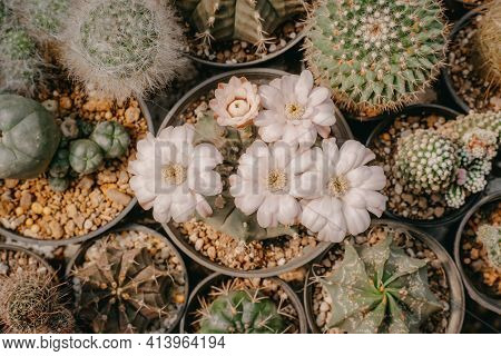 Top View Of Cactus Flowers, Gymnocalycium Sp. With White Flower Is Blooming On Pot, Succulent, Cacti
