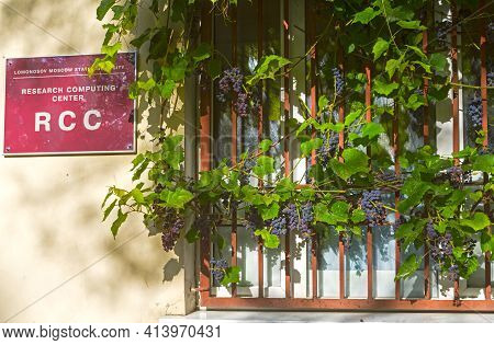 Moscow, Russia - September 18, 2020: Bunches Of Ripe Isabella Grapes Near The Wall Of The Research C