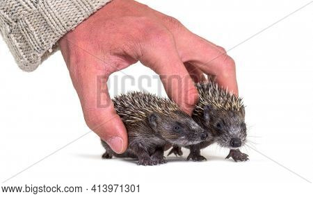 Human hand touching and helping two rescued Young European hedgehogs, isolated
