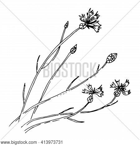 Cornflower Vector Sketch Illustration, Wild Meadow Flowers Sway In The Wind, Isolated On White Backg