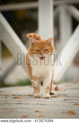 Red Cat Out Of The Mix On The White Finished Floor, Comes And Approaches, Opening The Mouth And Meow