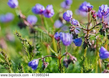 Close Up Of Geranium Pratense, The Meadow Cranes-bill Or Meadow Geranium