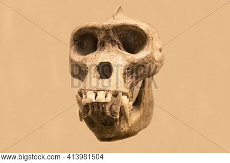 The Gorilla Skull Is Isolated On A Light Background. Paleontology Late Pleistocene Fossil Animals