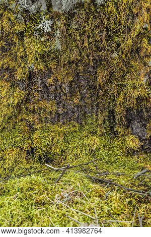 The Bark Of The Tree, The Texture Of The Wood, Overgrown With Moss. The Bark Of A Thick Deciduous Tr