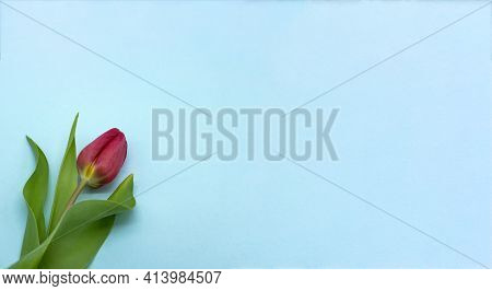 Blue Banner With A Tulip. Tulip On A Blue Background.