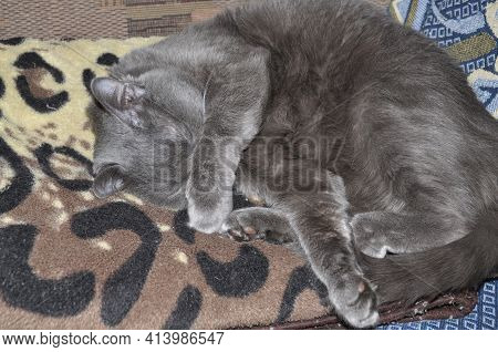 Grey Cat Sleeps On Bed. Gray Cat Resting After Lunch. Ginger Colored Cat In Bedroom. Adopted Domesti