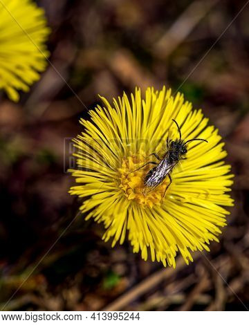 Small Bee Pollinating And Yellow Flower, Close-up Photo Of Insect And Flower