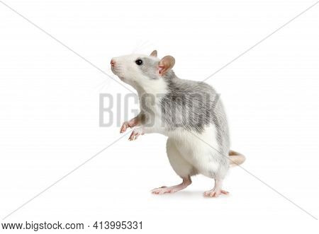Cute Little Rat Standing On His Hind Legs Isolated On A White Background