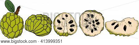 Vector Hand Drawn Set Of Cherimoya. Sugar Apple Colored Illustration. Delicious Tropical Vegetarian