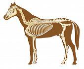 horse skeleton section with bones x ray poster