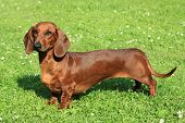 The Standard smooth-haired dachshund in the garden poster