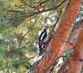 Woodpecker looking for food in the pine tree poster