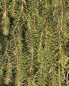 Vertical fir branches with very small cones poster