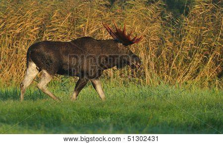 Moose Bull Walking