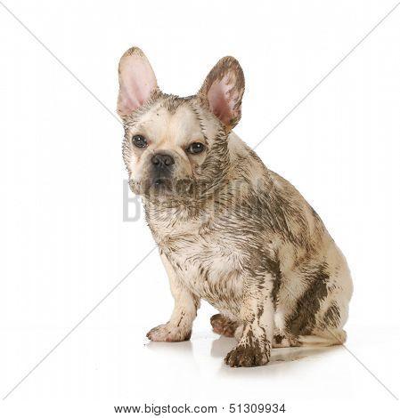 dirty dog - french bulldog covered in mud sitting looking at viewer isolated on white background