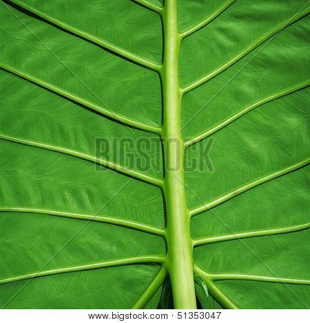 Tropical Plant Green Background - Colocasia Gigantea Leaf