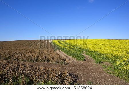 Dessicated Potato Crop