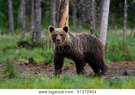 Brown Bear In The Bog
