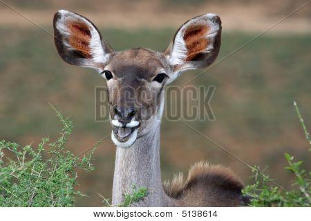 Kudu Antelope Ears