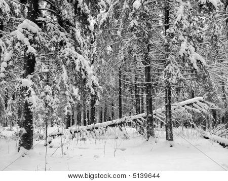 Kareliya: A Winter Wood
