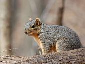 Fox squirrel (sciurus niger) sitting on a log poster