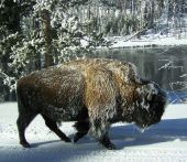 Snow-covered bison in Yellowstone National Park in the middle of winter next to the Firehole River. poster