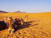 Camel on Zagora Desert in Morocco Africa poster