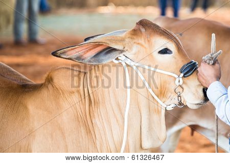A Beef cattle is show in judging contest