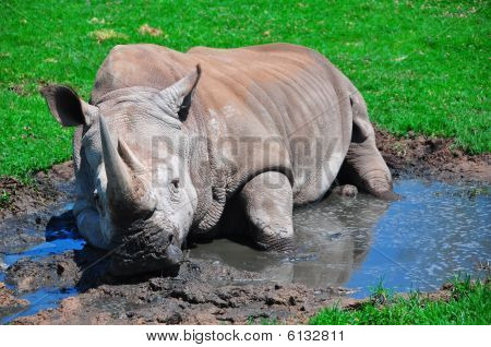 Lazy Rhinoceros at the San Diego Wild Animal Park poster
