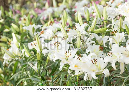 White  Lily In The Field