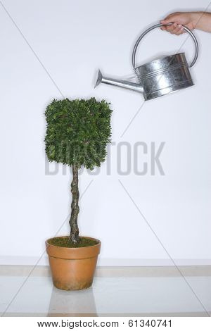 Watering a topiary plant